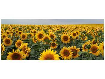 Obraz slunečnicového pole (F000397F10040)