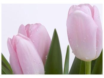 Obraz růžových tulipánů (F000389F10070)