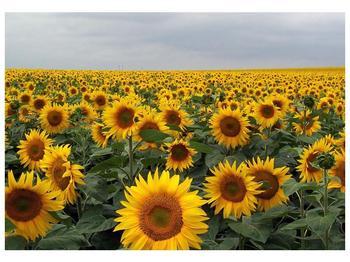 Obraz slunečnicového pole (F000397F10070)