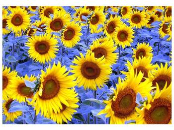 Obraz slunečnic (F000619F10070)