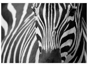 Obraz černobílého detailu zebry (F000715F10070)