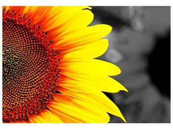 Obraz květu slunečnice (F002400F10070)