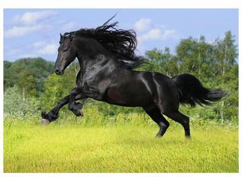 Obraz koně s rozevlátou hřívou  (F002685F10070)
