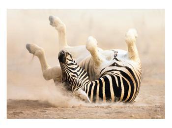 Obraz ležící zebry (K011173K10070)