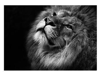 Černobílý obraz lva (K012767K10070)