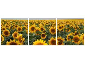 Obraz slunečnicového pole (F000397F12040)