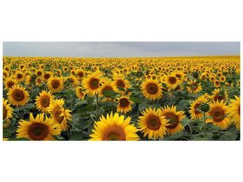 Obraz slunečnicového pole (F000397F12050)