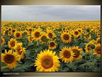 Obraz slunečnicového pole (F000397F12080)