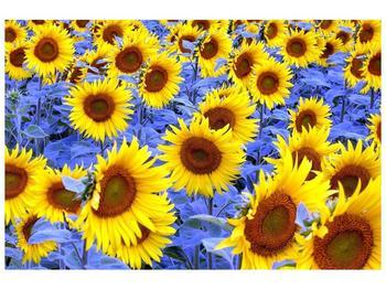 Obraz slunečnic (F000619F12080)