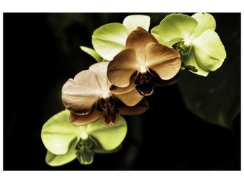 Obraz hnědých a zelených orchideí  (F002723F12080)