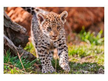 Obraz malého geparda (K010832K12080)