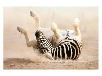 Obraz ležící zebry (K011173K12080)