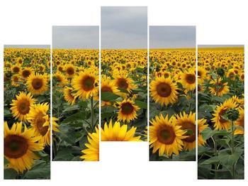 Obraz slunečnicového pole (F000397F12590)