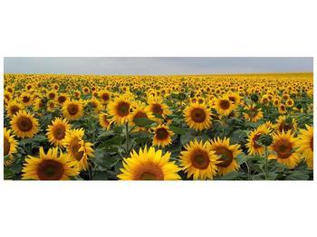 Obraz slunečnicového pole (F000397F14558)