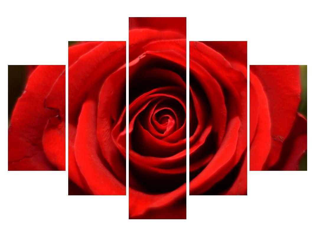 Slika detajla cveta vrtnice (K010280K150105)