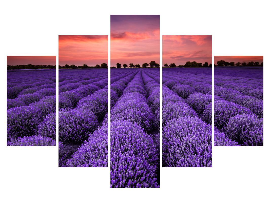 Slika polja lavande (K014685K150105)