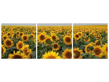 Obraz slunečnicového pole (F000397F15050)