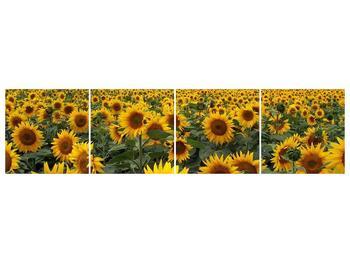 Obraz slunečnicového pole (F000397F16040)