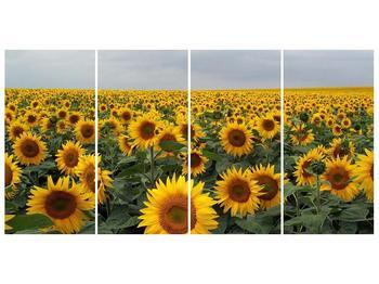 Obraz slunečnicového pole (F000397F16080)