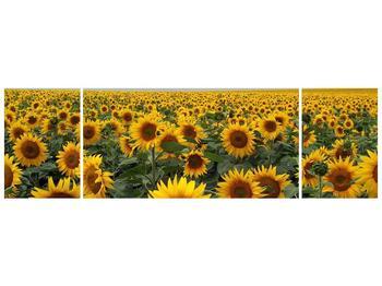 Obraz slunečnicového pole (F000397F17050)