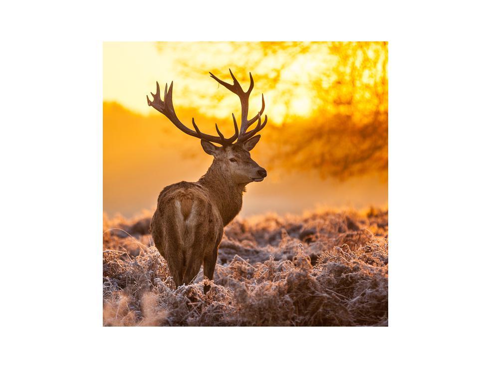 Slika jelena (K011281K3030)