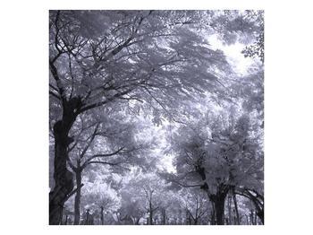 Černobílý obraz stromů  (F000074F3030)