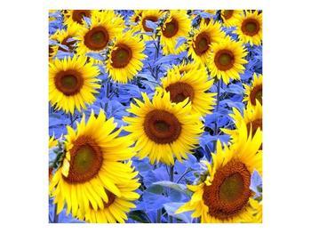 Obraz slunečnic (F000619F3030)