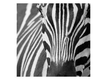 Obraz černobílého detailu zebry (F000715F3030)