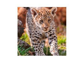 Obraz malého geparda (K010832K3030)
