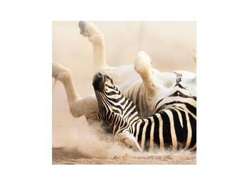 Obraz ležící zebry (K011173K3030)