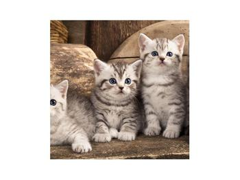 Obraz koťat (K011214K3030)