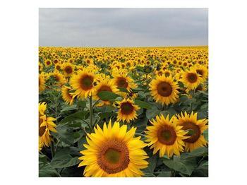 Obraz slunečnicového pole (F000397F4040)
