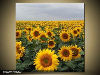 Obraz slunečnicového pole (F000397F4040GD)