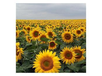 Obraz slunečnicového pole (F000397F5050)