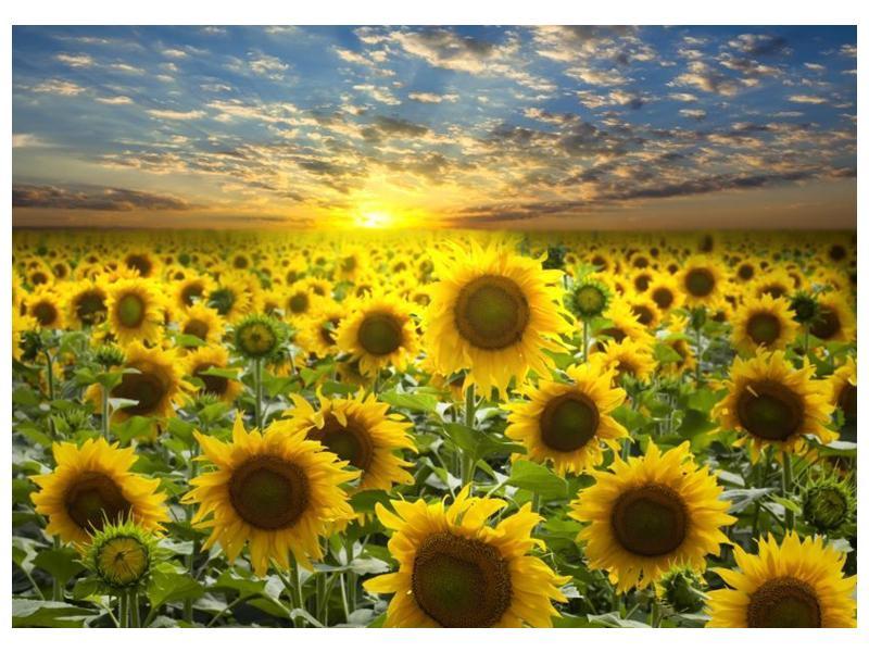 Obraz slunečnic při západu slunce  (F002612F7050)
