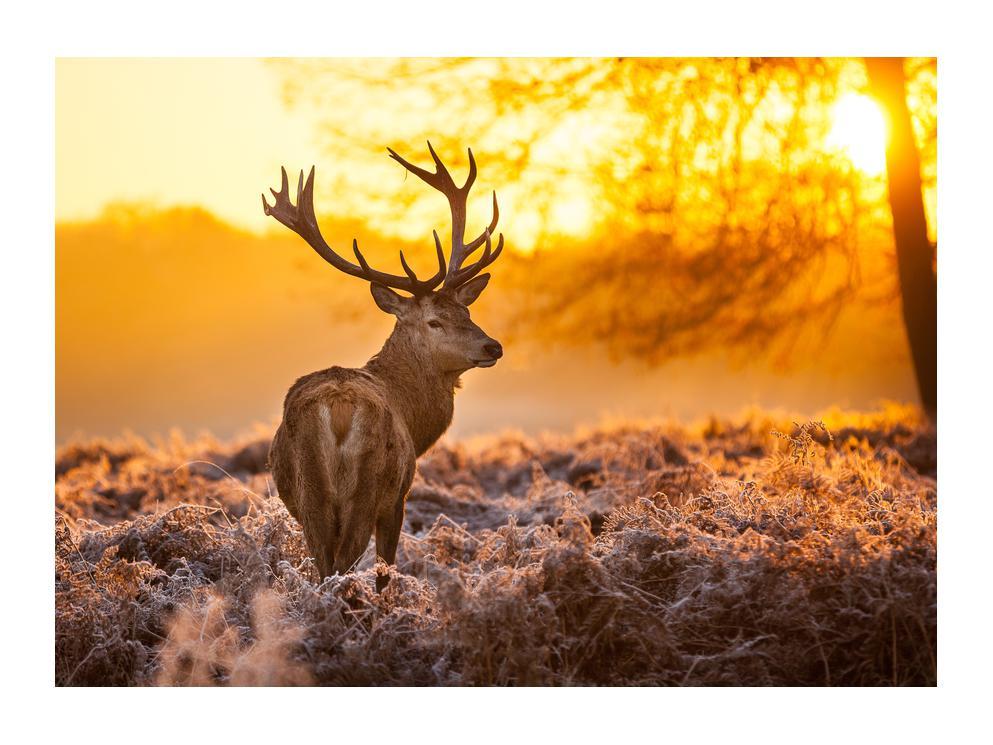 Slika jelena (K011281K7050)