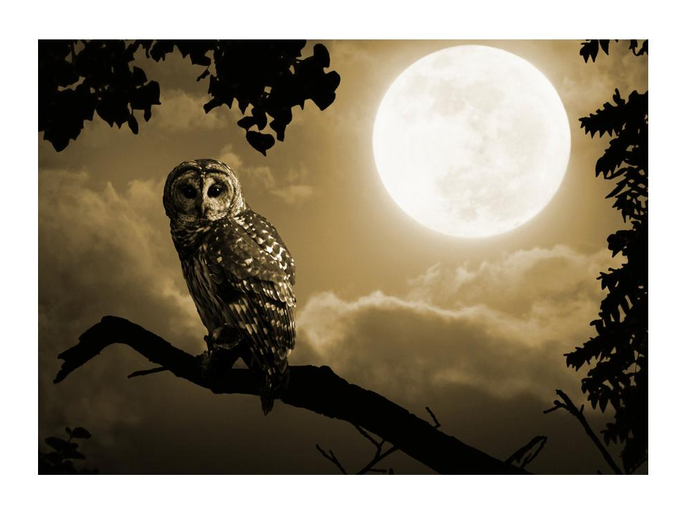 Slika noćne sove (K012182K7050)
