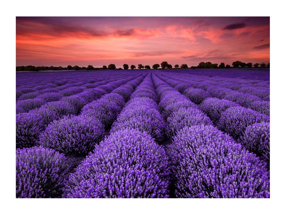 Slika polja lavande (K014685K7050)