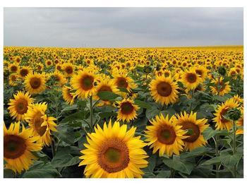 Obraz slunečnicového pole (F000397F7050)