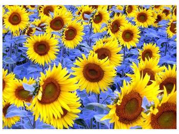 Obraz slunečnic (F000619F7050)