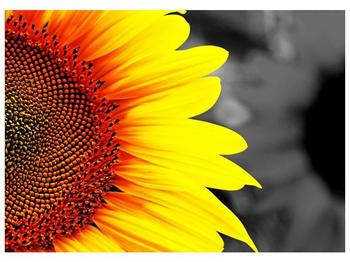 Obraz květu slunečnice (F002400F7050)