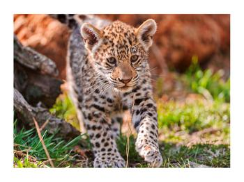 Obraz malého geparda (K010832K7050)