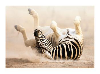 Obraz ležící zebry (K011173K7050)