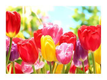 Obraz tulipánů  (K011255K7050)