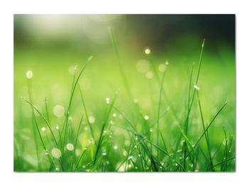 Obraz - rosa na tráve (V020169V7050)