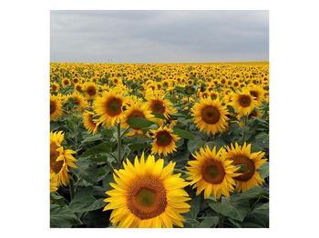 Obraz slunečnicového pole (F000397F7070)