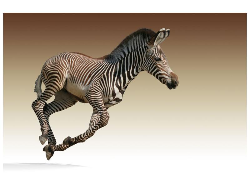Obraz běžící zebry (F002416F9060)