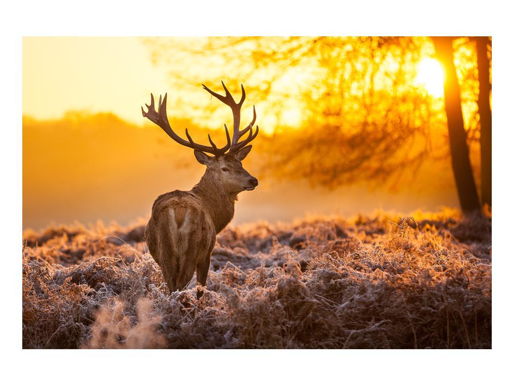 Slika jelena (K011281K9060)