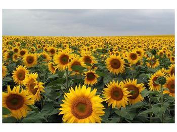 Obraz slunečnicového pole (F000397F9060)