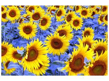 Obraz slunečnic (F000619F9060)